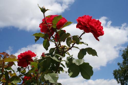 1 - Rose de mon jardin (0 vote)