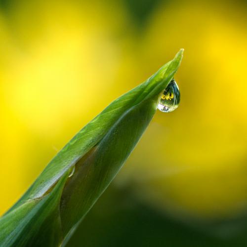 9 - Une goutte d'eau parmi les fleurs d'iris des marais (1 vote)