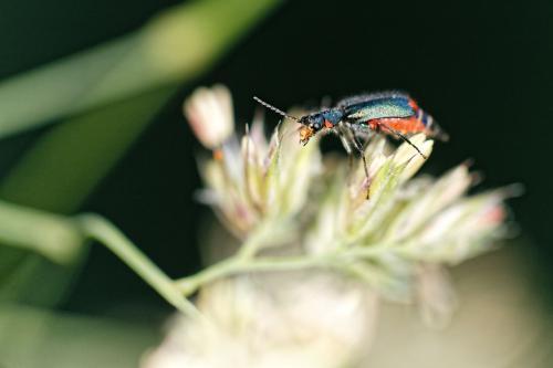 Le même scarabée au flash